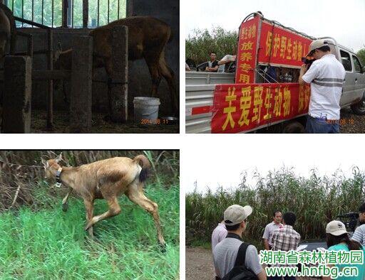 康复麋鹿回归自然 - 园内动态 - 湖南省森林植物园